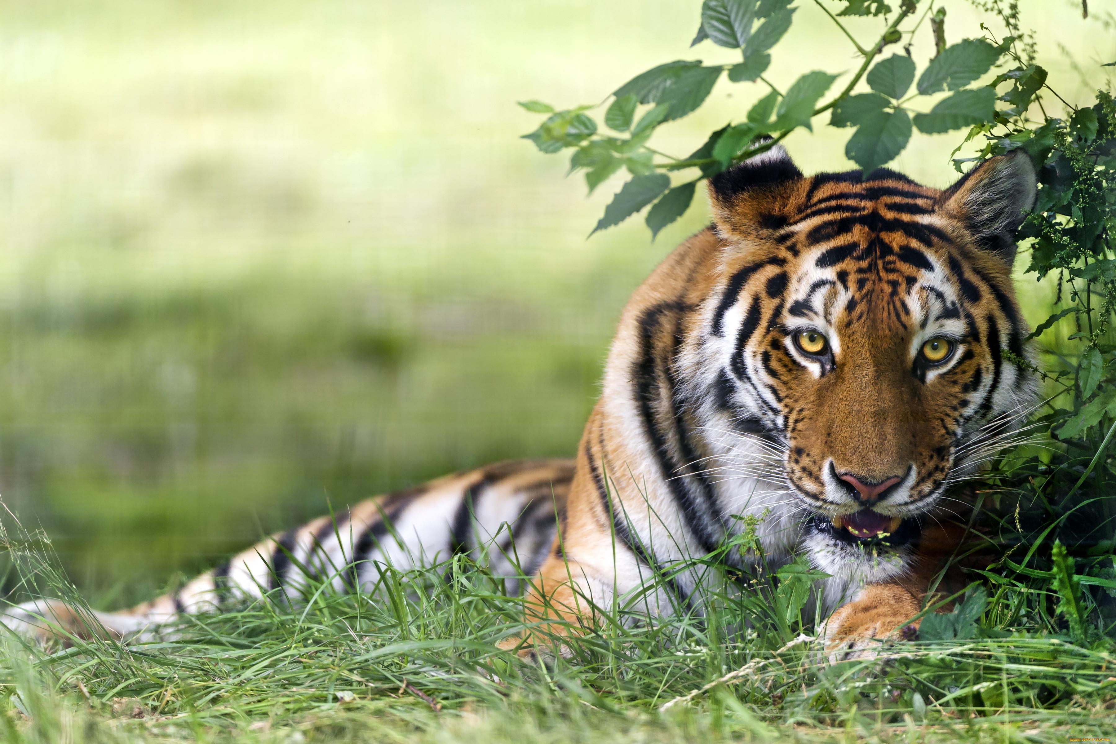 прикольные картинки про тигров том что мужиков